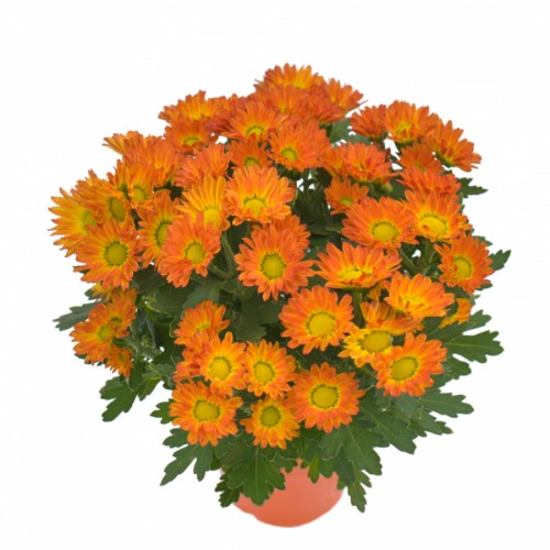Swifty orange - Chrysant Mini