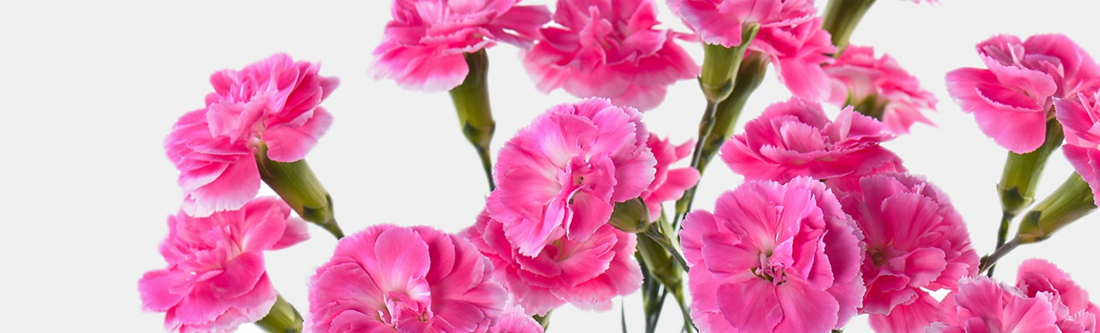 Spray Carnation